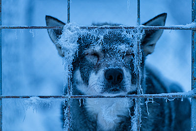 Dog behind bars - p312m1570473 by Hans Berggren
