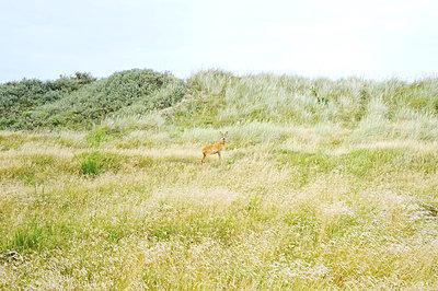 Reh in den Dünen, Dänemark - p900m1091356 von Michael Moser
