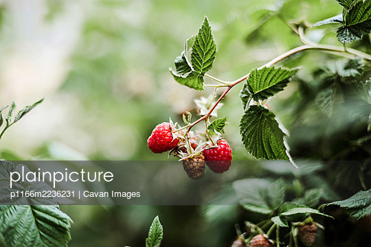 Red raspberry on the vine. - p1166m2236231 by Cavan Images
