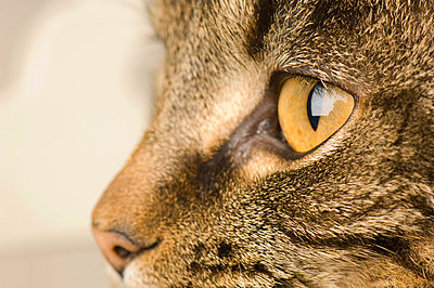Detail shot of an alert cat looking at something - p1025m780117f by Björn Andrén