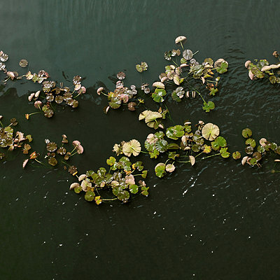 Lily pads on pond from above - p1072m829474 by Neville Mountford-Hoare