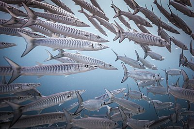 Shoal of Chevron Barracuda (Sphyraena genie) , Raja Ampat, West Papua, Indonesia - p429m1062854 by Steve Woods Photography
