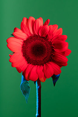 Sunflower colored by red and blue gels photographed in studio against green background - p919m2206451 by Beowulf Sheehan