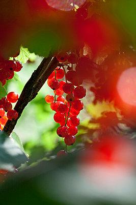 Redcurrant - p781m944854 by Angela Franke