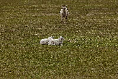 Mutterschaf mit zwei Jungtieren auf Weide - p1314m1189956 von Dominik Reipka