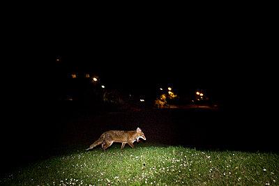 London Fox - p1479m2007595 by Helio Léon