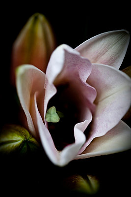 Lilie - p4450922 von Marie Docher