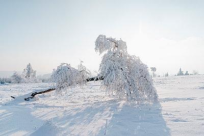 Umgestürzter Baum im Schnee - p586m2005109 von Kniel Synnatzschke