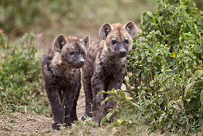 Two spotted hyena   pups, Ngorongoro Conservation Area, Serengeti, Tanzania, East Africa, Africa - p871m1046623f by James Hager