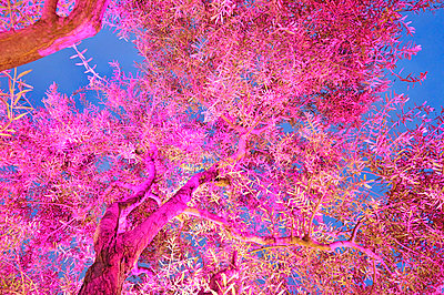Pink iluminated olive tree - p8850151 by Oliver Brenneisen