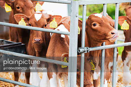 Group of Guernsey calves in a metal pen on a farm. - p1100m2085053 by Mint Images