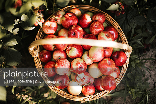 Harvested red apples in a garden - p1166m2094529 by Cavan Images