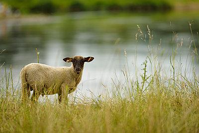 Schaf an der Oder - p1273m1198504 von melanka