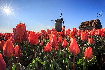 Red tulips in foreground and blue sky frame the windmill in spring, Schermerhorn, Alkmaar, North Holland, Netherlands, Europe - p871m1135503f by Roberto Moiola