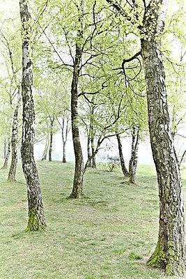 Birkenwald  - p1092m1112952 von Rolf Driesen