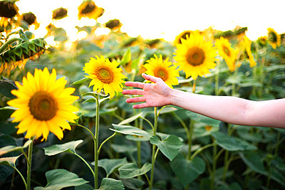 Girl's hand opposite the sunflower field - p1166m2096578 by Cavan Images
