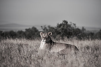 Lioness on the alert, savannah, Kenya - p706m2158463 by Markus Tollhopf