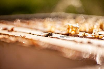 Einzelne Biene krabbelt aus ihrem Stock - p713m2107373 von Florian Kresse