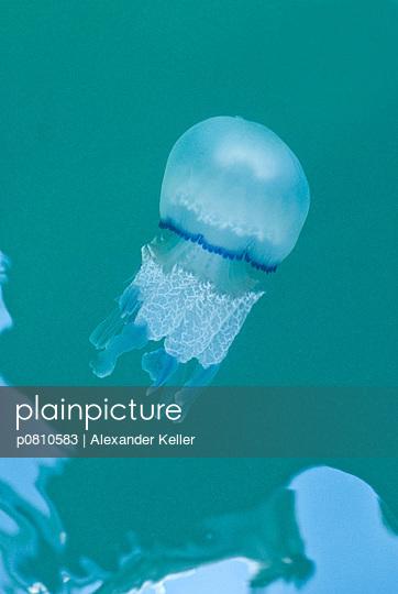 Qualle Pellestrina - p0810583 von Alexander Keller