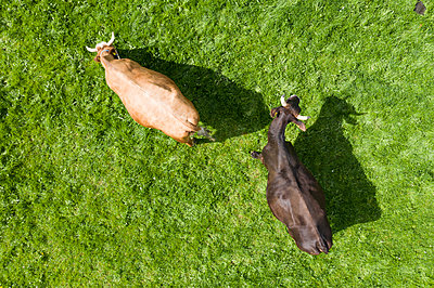Top view of two cows on meadow - p300m2114143 by Francesco Buttitta