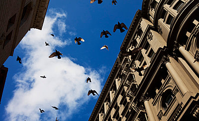 Startled pigeons suddenly take off from all directions in the city; San Francisco, California, United States of America - p442m824141 by William Tang