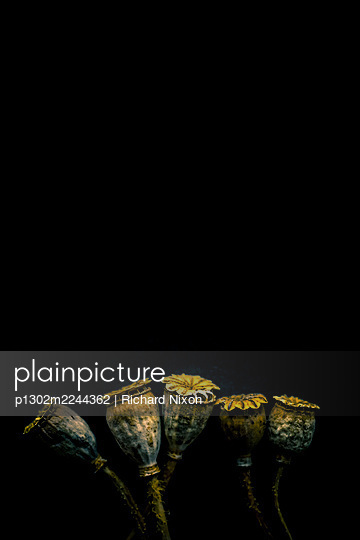 Five dried poppy seed heads against a black background - p1302m2244362 by Richard Nixon