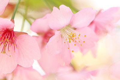 Cherry Blossoms - p307m963602f by SHOSEI