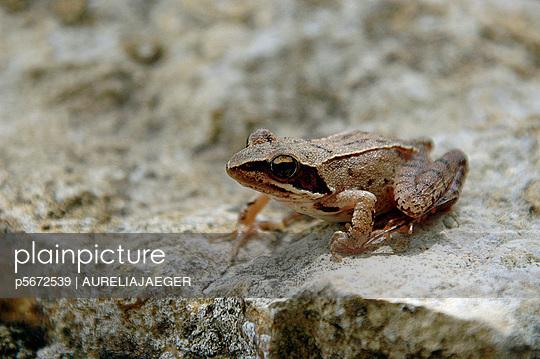 Frosch - p5672539 von AURELIAJAEGER