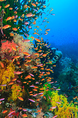 Colorful fish swimming in coral reef - p429m768028 by Stuart Westmorland