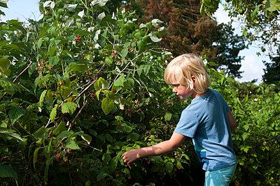 Girl picking raspberries - p116m2289825 by Gianna Schade