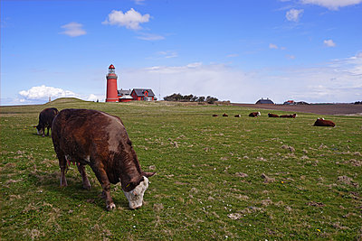 Cattle grazing near lighthouse Bovbjerg Fyr in Jutland - p162m1220802 by Beate Bussenius
