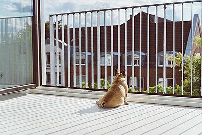 Französische Bulldogge beobachtet die Nachbarschaft - p432m2196432 von mia takahara