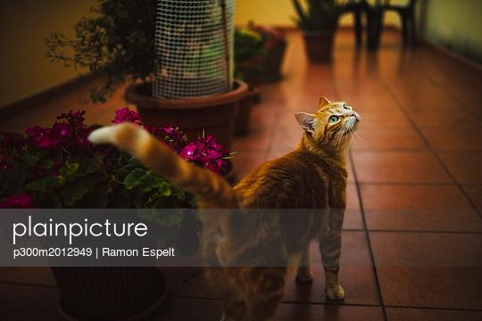 Ginger cat looking up - p300m2012949 von Ramon Espelt