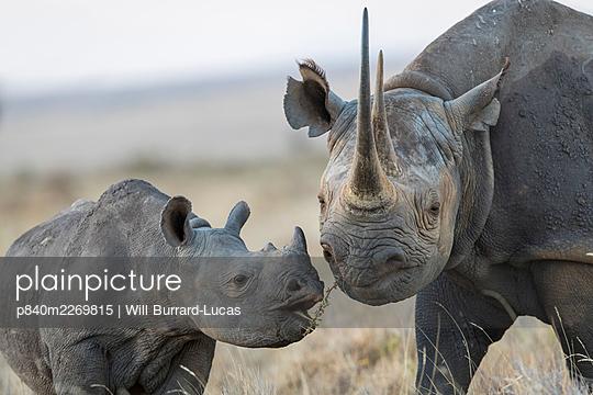 Black rhinoceros (Diceros bicornis) mother and calf, Lewa & Borana Conservancy, Kenya. - p840m2269815 by Will Burrard-Lucas