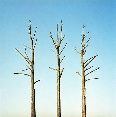 Drei beschnittene Bäume - p6060164 von Iris Friedrich