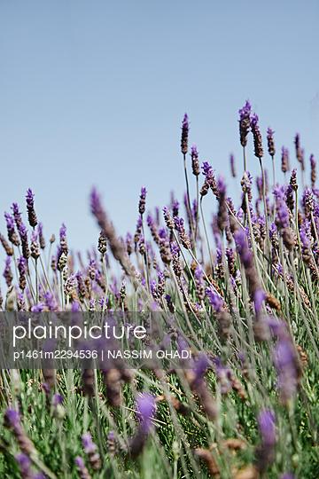 Lavender - p1461m2294536 by NASSIM OHADI