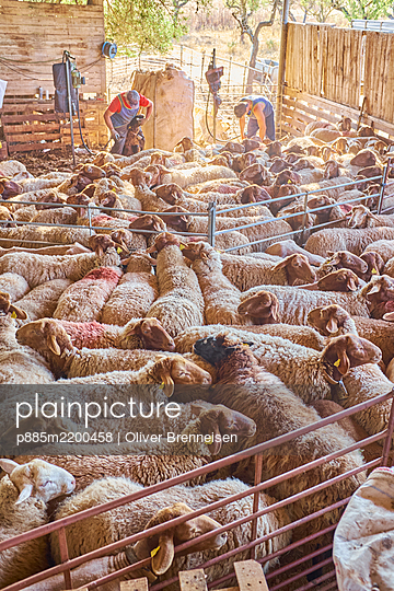 Sheep-shearing - p885m2200458 by Oliver Brenneisen