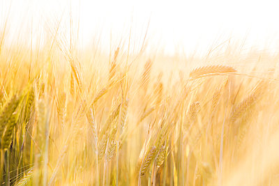 Barley field with sunset - p1057m1045047 by Stephen Shepherd