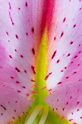 Lily Inside of Flower - p1072m836345 by Chinch Gryniewicz