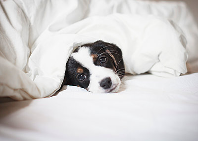 Portrait of puppy covered in blanket on bed - p301m1482468 by Isabella Ståhl