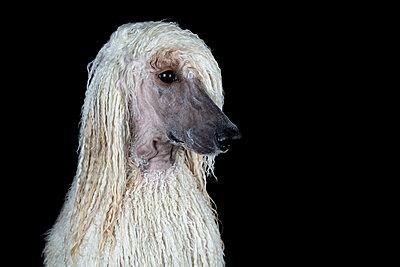 Portrait of wet Standard Poodle against black background - p300m2188747 by COROIMAGE