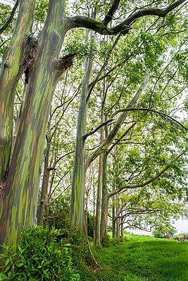 Rainbow Eucalyptus Grove On The Island Of Maui - p343m1204046 by Michael Okimoto