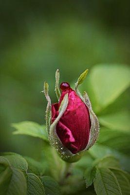 Rosebud, close-up - p1235m2287946 by Karoliina Norontaus