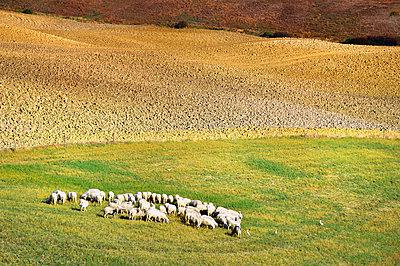 Schafherde in der Toskana - p416m1056886 von goZooma