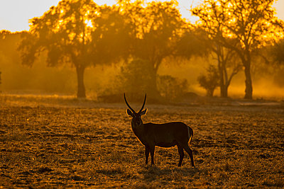 Male Waterbuck (Kobus ellipsiprymnus), Mana Pools, Zimbabwe - p429m2023198 by David Fettes