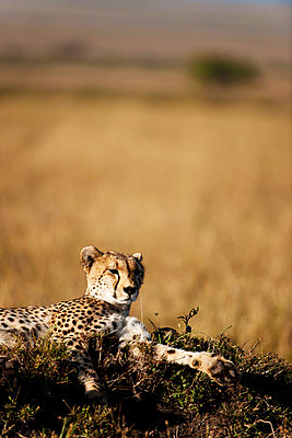 Cheetah relaxing - p533m885429 by Böhm Monika