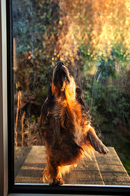 Young red dachshund scratching at a glass door to be let in - p1047m2179270 by Sally Mundy