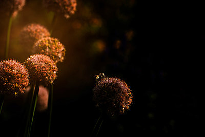 Close-up of bee pollinating on flower during sunset - p1166m2024552 by Cavan Images