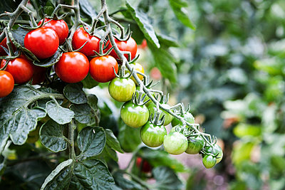 Tomatoes - p1168m959812 by Thomas Günther
