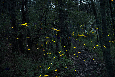 Fireflies in Santa Clara, Nanacamilpa, Tlaxcala, Mexico - p343m1520778 by Marcos Ferro